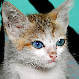 Kitten  by Asif Bora - Animals - Cats Kittens