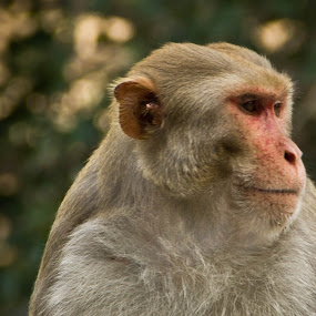Monkey in my village by Bhavik Patel - Animals Other Mammals