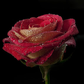 Rose with drops by Cristobal Garciaferro Rubio - Nature Up Close Flowers - 2011-2013 ( love, petals, drop, romantic, drops, raindrops, flowers, flower, petal )