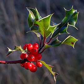 Holly Berries by Chrissie Barrow - Nature Up Close Other Natural Objects ( red, holly, nature, green, bush, leaves, bokeh, closeup, berries )