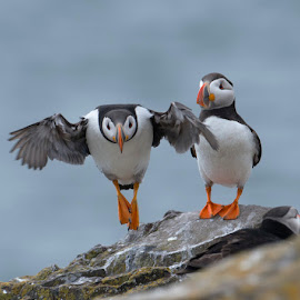 Take off by Marina Papas - Animals Birds ( animals, nature, wildlife, birds, puffin )