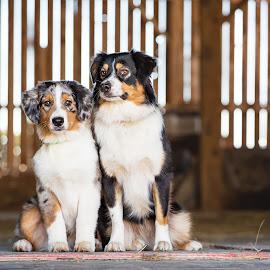 Besties by Kinsey Winger - Animals - Dogs Portraits ( shepherd, friends, barn, australian, pet, sibling, slit, dog, aussie )