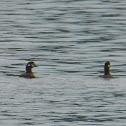 Harlequin Duck ♀