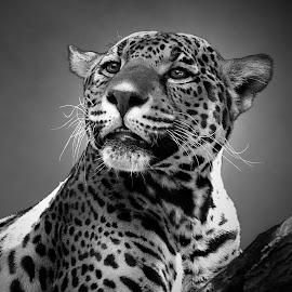 B&W Jaguar by Shawn Thomas - Black & White Animals (  )