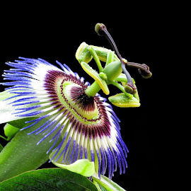 by Boris Buric - Flowers Single Flower