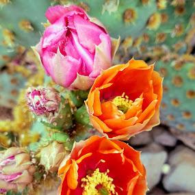 Cactus Bloom by Michael Pruitt - Flowers Flowers in the Wild ( arizona, sedona, flowers, cactus )