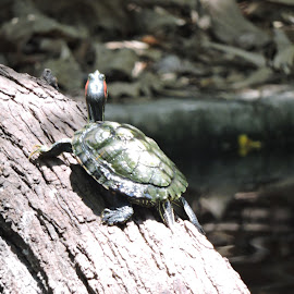 Rising turtle by Divya Mehta - Animals Amphibians
