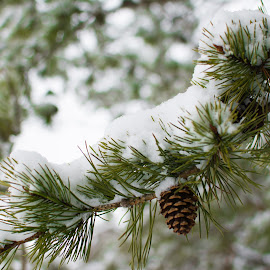 One Cone by Mike Rushing - Nature Up Close Trees & Bushes ( pine cone, winter, snow, branches )