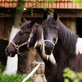 Horses by Boris Romac - Animals Horses ( k3, da, 60-250, pentax, f4, ricoh )