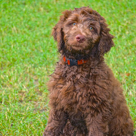 Labradoodle Pup by Kathy Suttles - Animals - Dogs Puppies ( labradoodle, pup, water-dog, drying off, after the pool,  )