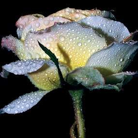 rose............7 by Anand Kumar - Nature Up Close Flowers - 2011-2013 ( rose, petals, dew, flower, droplets )