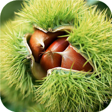 Chestnuts. Nature wallpapers