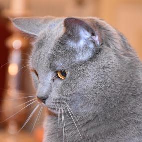 Mouchette by Isabelle Ebens - Animals - Cats Portraits ( cat, chartreux )