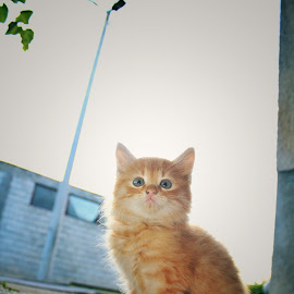 little yellow king by Tanja Galac - Animals - Cats Kittens
