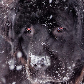 Fuzzy In the Snow by Sheen Deis - Animals - Dogs Playing ( winter, dogs, newfoundlands, snow, pets,  )