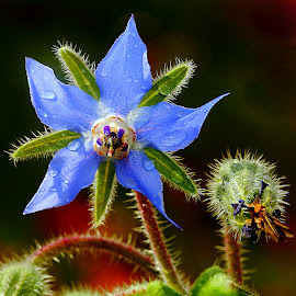 Bourrache by Gérard CHATENET - Flowers Single Flower (  )