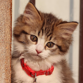 kitten by Lize Hill - Animals - Cats Kittens