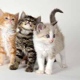 Now we shall have no pie. by Dan Justes - Animals - Cats Kittens ( cat, kitten, three, cute )
