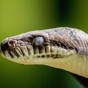 blue eyes by GilaMoto GilaMoto - Animals Reptiles
