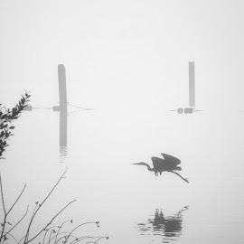 Heron  by Todd Reynolds - Black & White Animals