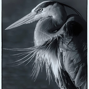 Great Blue Heron by Brandon Downing - Animals Birds ( bird, water, nature, black and white, fine art, colorado, wildlife, b & w )