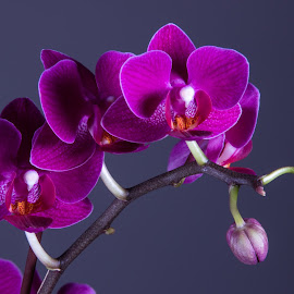 Purple Orchid by Simon Hall - Flowers Flower Arangements