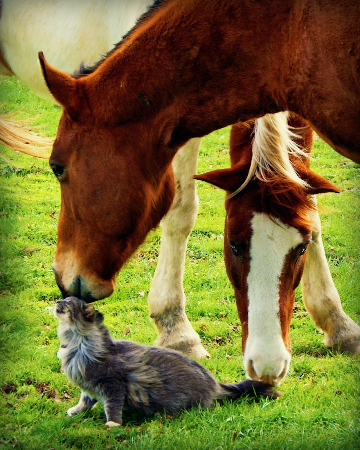Nuzzle From a Muzzle by Teresa Delcambre - Animals Horses ( mare, cat, pasture, sorrell, horse, pinto, paint, cute, gelding, kitty )