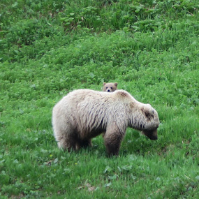 by Judy Smith - Novices Only Wildlife ( grizzly, wilderness )