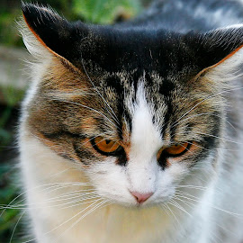 angry cat by Bernarda Bizjak - Animals - Cats Portraits