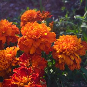 Orange flowers  by Enry Ci - Flowers Flower Gardens ( orange, botanic, petal, nature, vegetation, garden, flower,  )