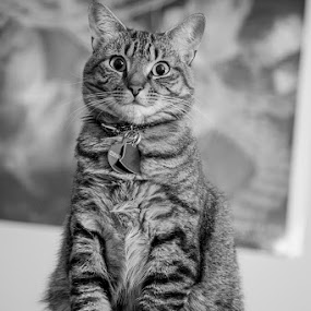 Why You Looking At Me? by Aaron Krosner - Animals - Cats Portraits ( cats, b&w, black and white, art, fine art, tabby )