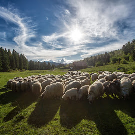 A flock of sheep by Stanislav Horacek - Landscapes Prairies, Meadows & Fields