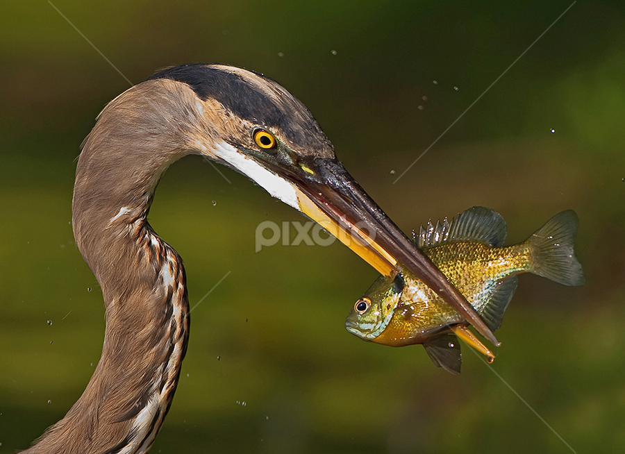 Shish Kebob by Herb Houghton - Animals Birds ( bluegill, great blue heron, wading bird, heron, egret )
