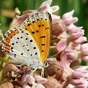 Bronze Copper Butterfly