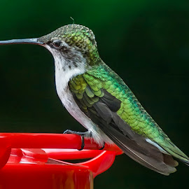 Hummingbird by Debora Garella - Animals Birds