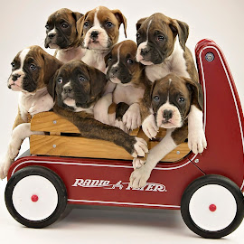 The whole caboodle! by Tara Chumsae - Animals - Dogs Portraits ( caboodle, animals, dogs, boxer, wagon, boxers, cute, puppies, family, pet, pets, cuddly, puppy, dog, animal,  )