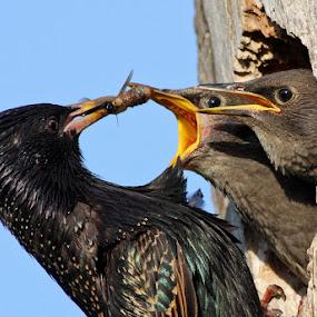 Starlings by Mircea Costina - Animals Birds ( babies, european, starling, food, nest, vulgaris, feeding, spring, chicks, sturnus )