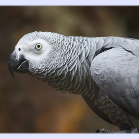 african grey by Lolit Cabilis - Animals Birds ( bird, nature )