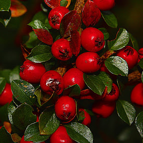 Red Berries by Kelly Williams - Nature Up Close Trees & Bushes ( red, nature, tree, on, bush, berries )
