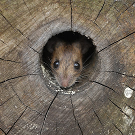 Peek a boo by Steve Adams - Animals Other Mammals ( mice, mouse, whiskers., wood mouse, eyes )