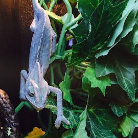 Chameleon  by Milton Moreno - Instagram & Mobile iPhone (  )