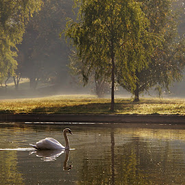 Autumn morning with swan by Nicu Buculei - City,  Street & Park  City Parks ( park, swan, lake, morning )