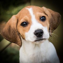 Clancy by Myra Brizendine Wilson - Animals - Dogs Portraits ( canine, dogs, pet, pets, clancy, dog )