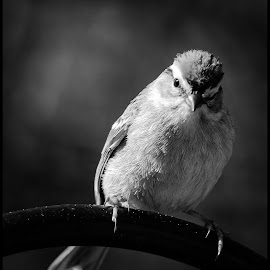 Chirping Sparrow by Dave Lipchen - Black & White Animals ( chirping sparrow )