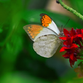 White Butterfly by Peter Murnieks - Animals Other ( plant, butterfly, red, outdoors, white, bush, flowers )