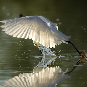 Fishing by Dave . - Animals Birds ( bird, water, flying, flight, waterfowl, arizona, wildlife, snowy egret, pond, egret )