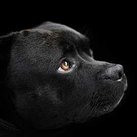King by Terje Sandø - Animals - Dogs Portraits ( black dog, pet, staffordshire bull terrier, dog, animal )