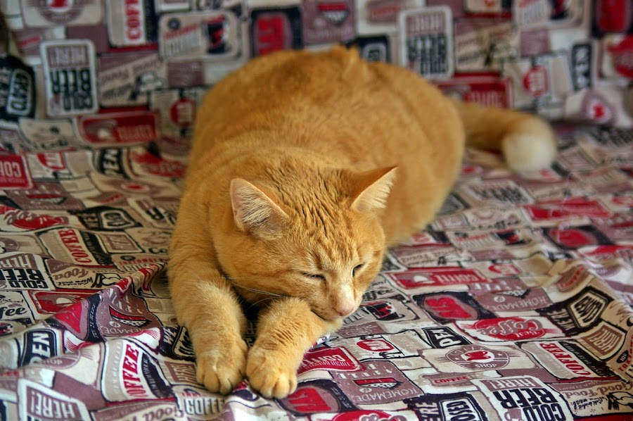 Good morning by Ciprian Apetrei - Animals - Cats Portraits ( cat, brittany, fun, lazy, ginger cat )