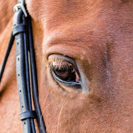Show jumping 5 by Tommy Glad - Animals Horses ( red, horse riding, horse, show jumping, eye )
