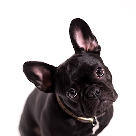 Puppy by Vix Paine - Animals - Dogs Portraits ( expression, bulldog, big ears, pet, french bulldog, white background, best friend, puppy, dog, nose, portrait, animal, eyes )